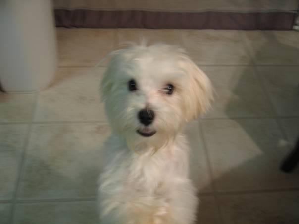 My Maltese Dog, Philip